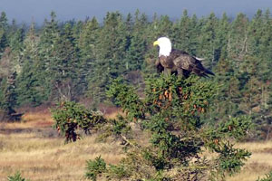Bald Eagle at SeaScape Cottages in Nova Scotia